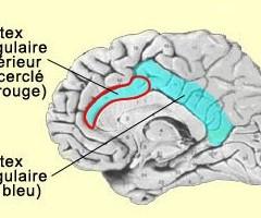 cortex-cingulaire-antérieur