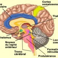 image-cortex-cingulaire-antérieure-et-cortex-somatosensoriel