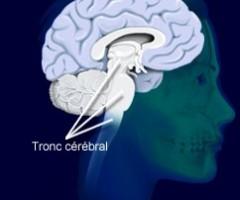 tronc-cérébral